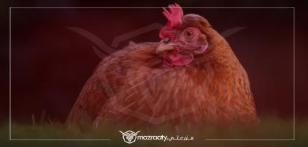 Common Poultry Diseases During the Rainy Season