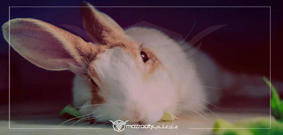 Common Rabbit Diseases
