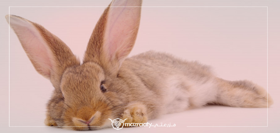 Coccidiosis in rabbit